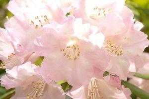 祝30周年シャクナゲ花まつり 開園期間4月中旬~5月中旬