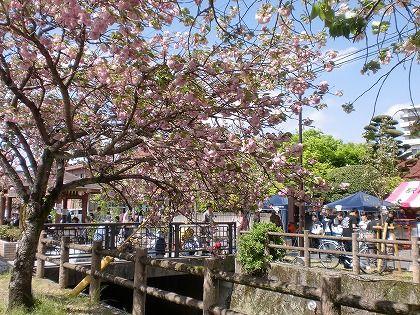 大分県日田市の八重桜の名所 中野川の桜まつり